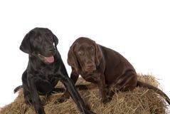 幼小巧克力黑色拉布拉多猎犬小狗 免版税库存图片