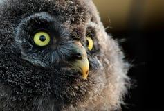 幼小巨大灰色猫头鹰 库存照片