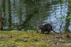 幼小巨水鼠或Nutria在狂放 免版税图库摄影