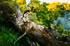幼小愉快的多壳的爱斯基摩狗坐A树干  库存图片