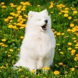 幼小愉快的微笑的白色萨莫耶特人狗或Bjelkier,面带笑容, Sammy 库存图片