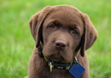 幼小拉布拉多猎犬小狗 免版税库存照片