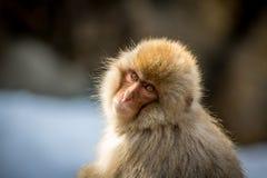 幼小日本雪猴子 库存图片