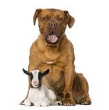 幼小本国山羊和Dogue de Bordeaux 库存照片