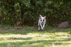 幼小杰克罗素狗狗跳和跑 免版税图库摄影