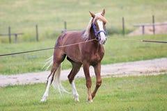 幼小栗子公马品种奥尔洛夫小跑步马 库存照片