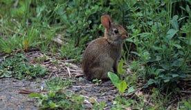 幼小棉尾巴兔子 免版税图库摄影