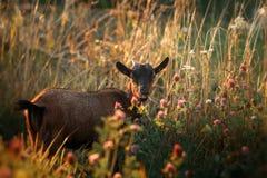 幼小棕色喀麦隆山羊 免版税库存照片