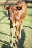 幼小棕色小牛 库存图片