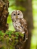 幼小棕色猫头鹰画象在森林-猫头鹰类aluco里 免版税图库摄影
