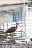 幼小棕色美国白色朱鹭Eudocimus albus鸟 免版税库存照片