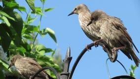 幼小椋鸟在郊区庭院里 股票录像