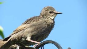 幼小椋鸟在郊区庭院里 股票视频