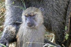 幼小橄榄色的狒狒(狒狒Anubis) 免版税图库摄影
