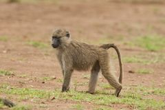 幼小橄榄色的狒狒 库存照片