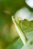 幼小欧洲螳螂或螳螂 库存照片