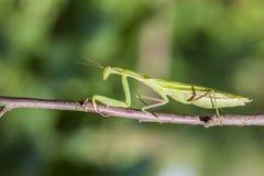 幼小欧洲螳螂或螳螂 免版税库存照片