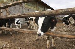 幼小母牛在农场 免版税库存照片