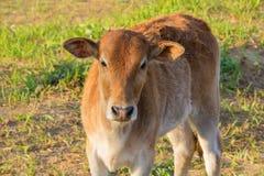 幼小母牛在草原 库存照片