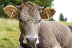 幼小母牛头的画象图片  免版税库存图片