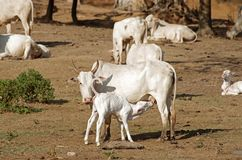 幼小母牛饮用奶 库存图片