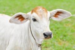 幼小母牛 免版税库存照片