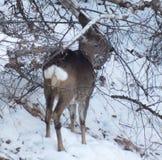 幼小母鹿在冬天在森林里 库存照片