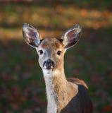 幼小母鹿 库存照片
