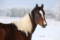 幼小油漆马母马在冬天 库存照片