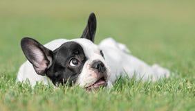 幼小法国牛头犬狗 库存照片