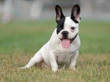 幼小法国牛头犬狗 免版税图库摄影
