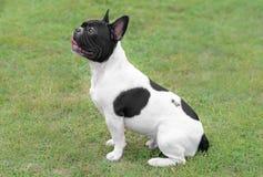 幼小法国牛头犬狗 库存图片