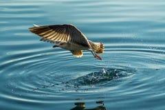幼小海鸥 库存图片