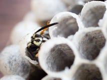 幼小涌现的黄蜂被变换成成人工作者黄蜂 免版税库存照片