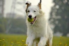 幼小澳大利亚牧羊犬 的aurore 快活的忙乱小狗 狗训练  尾随教育, cynology,年轻人密集的训练  图库摄影