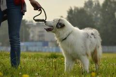 幼小澳大利亚牧羊犬 的aurore 快活的忙乱小狗 狗训练  尾随教育, cynology,年轻人密集的训练  库存照片
