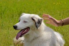 幼小澳大利亚牧羊犬 的aurore 快活的忙乱小狗 狗训练  尾随教育, cynology,年轻人密集的训练  库存图片