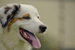 幼小澳大利亚牧羊犬 的aurore 快活的忙乱小狗 狗训练  尾随教育, cynology,年轻人密集的训练  免版税库存图片