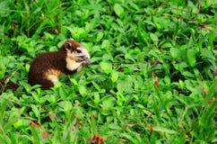 幼小灰鼠吃食物 免版税库存照片