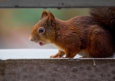 幼小灰鼠 免版税库存图片