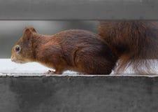 幼小灰鼠 免版税图库摄影