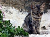 幼小烟草花叶病的长发小猫哀伤看在步 免版税库存照片