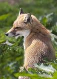 幼小狐狸崽 库存图片