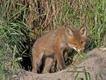 幼小狐狸 库存照片