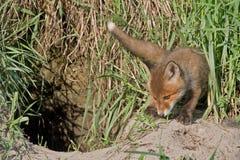幼小狐狸 图库摄影