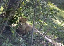 幼小狐狸 免版税库存图片