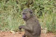 幼小狒狒 免版税库存图片