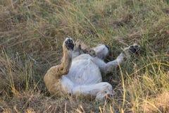 幼小狮子在他的放置在草 免版税库存图片