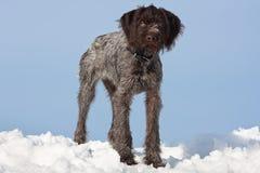 幼小猎犬在天空背景的冬天 免版税库存照片