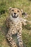 幼小猎豹 免版税库存照片